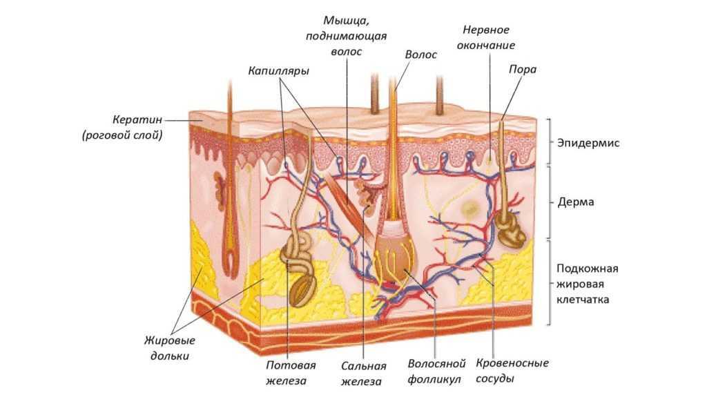Строение эпидермиса, что происходит с кожей во время ожога и как лечить последствия